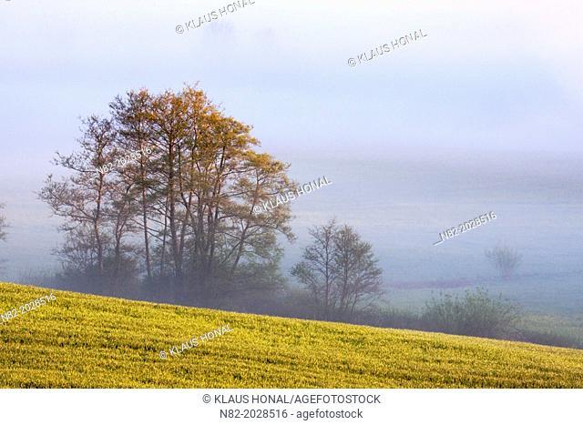 Rape field in morning fog near Hesselberg mountain - Region Hesselberg, Bavaria/Germany