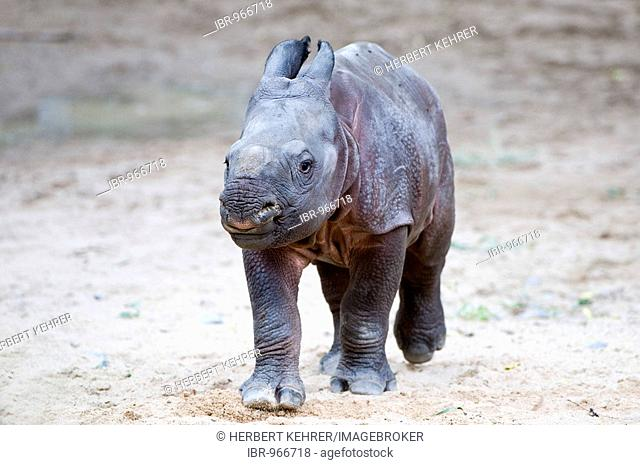 Young Indian Rhinoceros, Great One-horned Rhinoceros or Asian One-horned Rhinoceros (Rhinoceros unicornis)