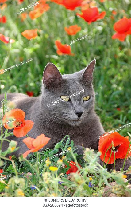 Domestic cat. Blue cat lying in a meadow with Poppy flowers. Spain