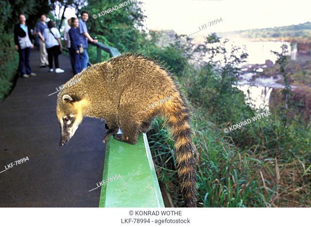 Coati, Nasua nasua, Iguassu Nationalpark, Brazil