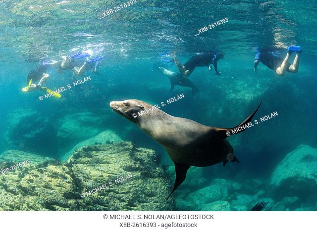 Adult California sea lion, Zalophus californianus, underwater with snorkelers at Los Islotes, Baja California Sur, Mexico