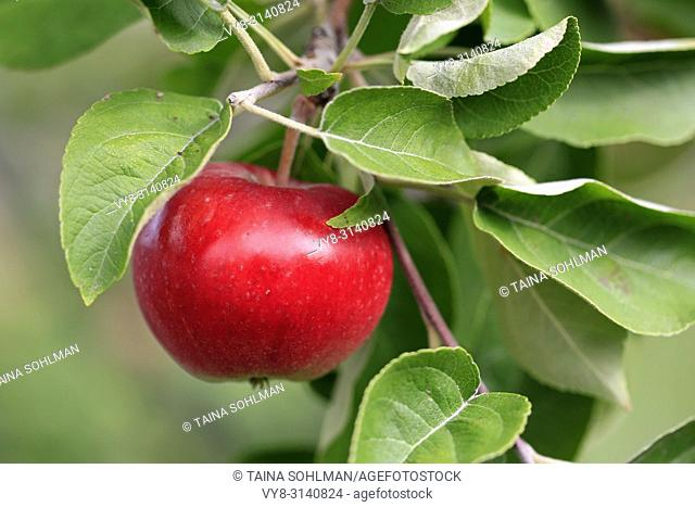 Ripe red apple growing on the apple tree seen close up. Shallow dof