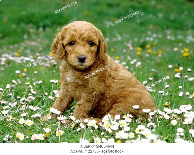 Labradoodle Puppy sitting in field of flowers