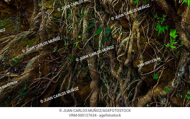 Detail of roots, Gorbeia Natural Park, Bizkaia, Basque Country, Spain, Europe