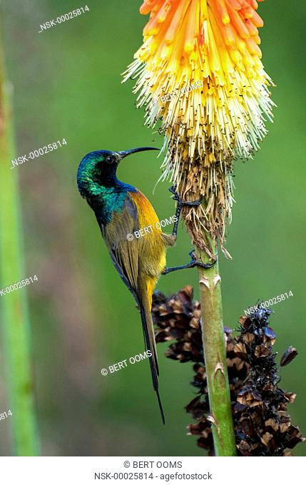 Orange-breasted Sunbird (Anthobaphes violacea) male foraging on flowers of Red Hot Poker (Kniphofia), South Africa, Western Cape, Cape Town