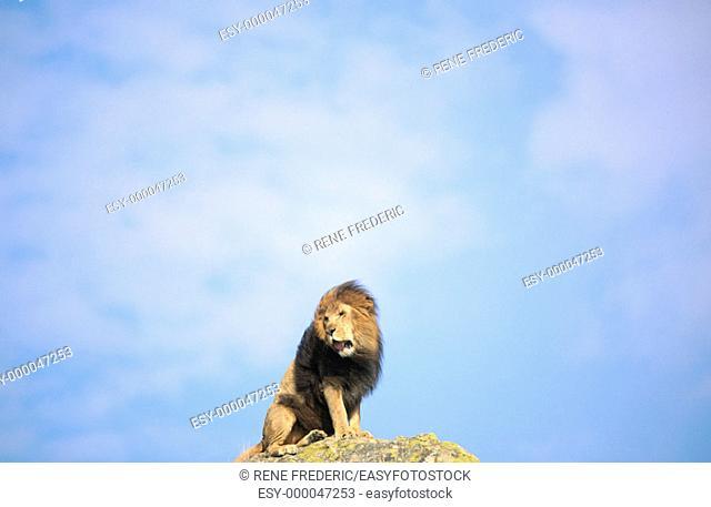Lion (Panthera leo). Africa