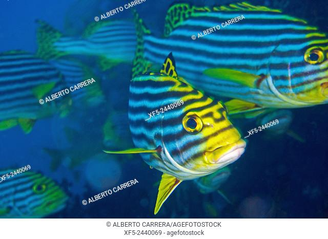 Striped Oriental Sweetlips, Plectorhinchus orientalis, South Ari Atoll, Maldives, Indian Ocean, Asia