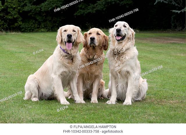 Domestic Dog, Golden Retriever, three adult females, sitting on garden lawn, England, august