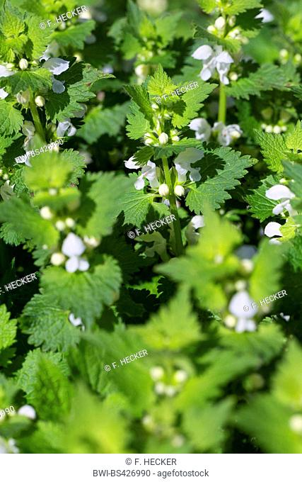 white dead-nettle, white deadnettle (Lamium album), blooming, Germany