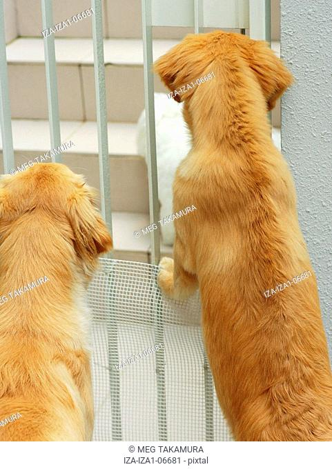 Close-up of two golden retriever dogs leaning on a metal gate