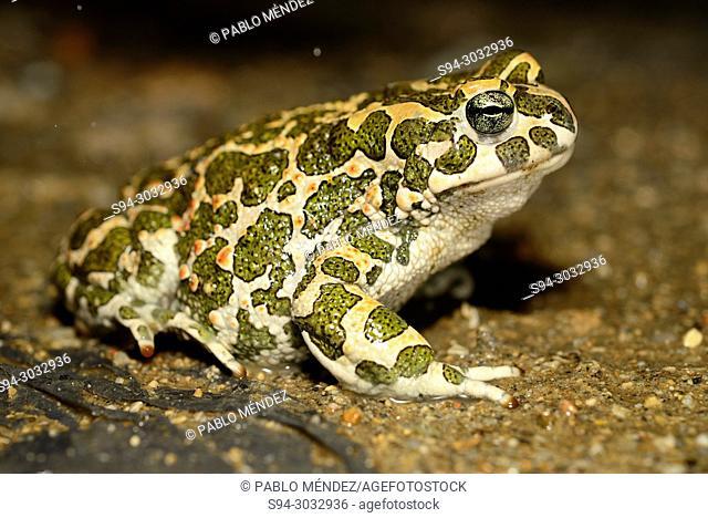 Green toad (Bufotes viridis) near Dragicevo, Veliko Tarnovo, Bulgaria