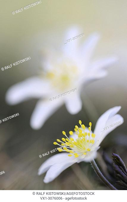 Wood Anemones ( Anemone nemorosa ), close up of their pretty white blossoms, Europe