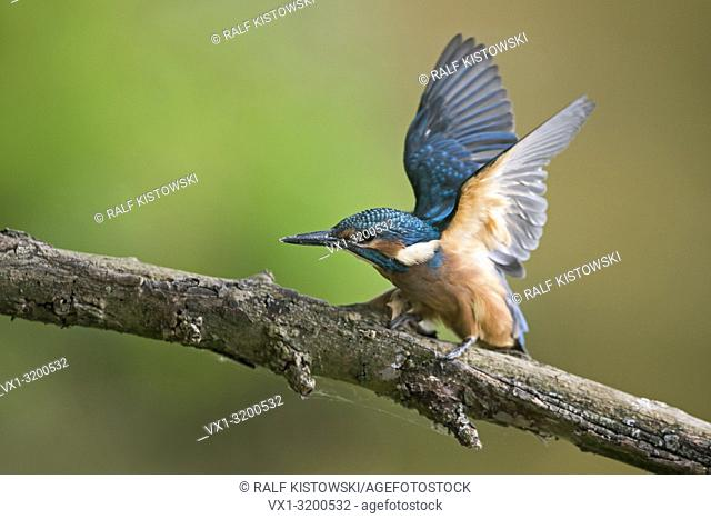 Young Common Kingfisher ( Alcedo atthis ), just fledged, begging for food, wildlife, Europe