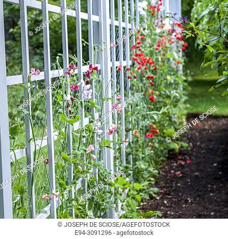 Sweet peas in flower on a wooden white trellis in a garden in the summer