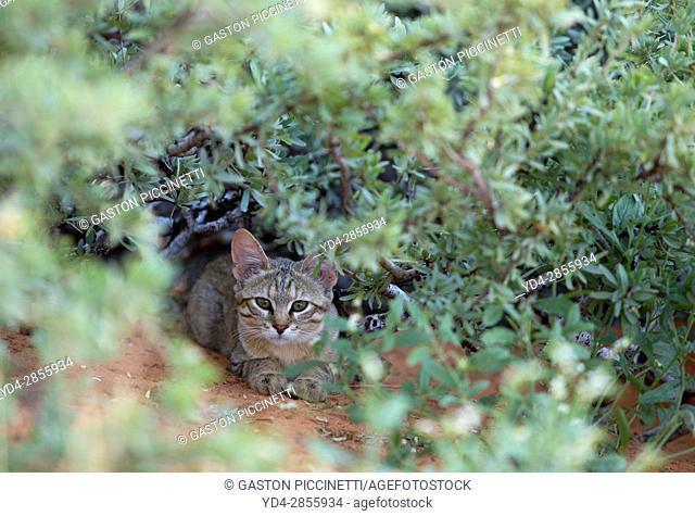 African Wild Cat (Felis silvestris lybica), Kieliekrankie Wilderness Camp, Kgalagadi Transfrontier Park, Kalahri desert, South Africa