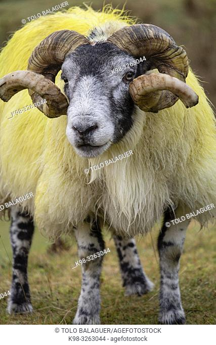 Lamb, Quiraing valley, Isle of Skye, Highlands, Scotland, United Kingdom