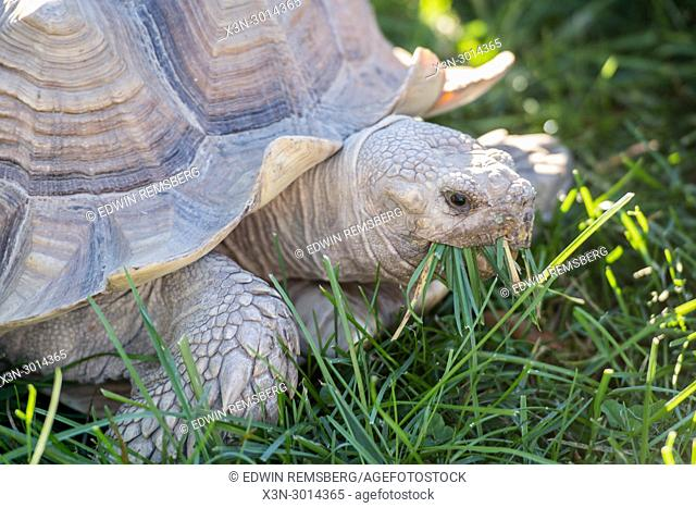 Tortoise munches on grass, College Park, Maryland, USA