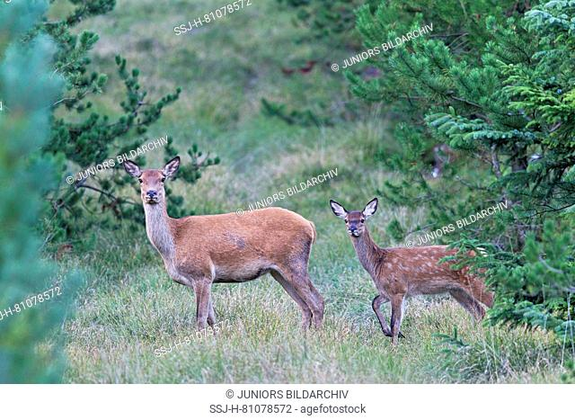 Red Deer (Cervus elaphus). Hind with calf in the evening on their way to a meadow. Denmark
