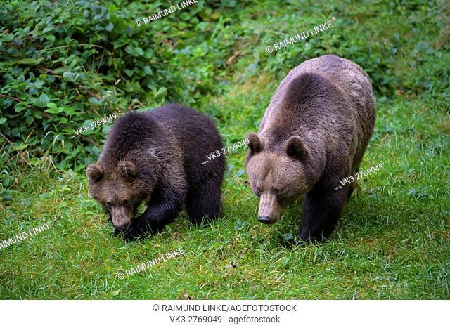Brown Bear, Ursus arctos, Female with cub, Bavaria, Germany