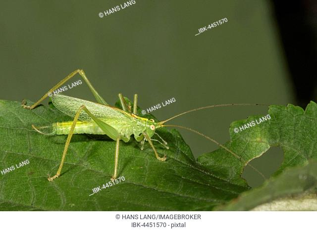 Oak bush-cricket (Meconema thalassinum) on leaf, Baden-Württemberg, Germany