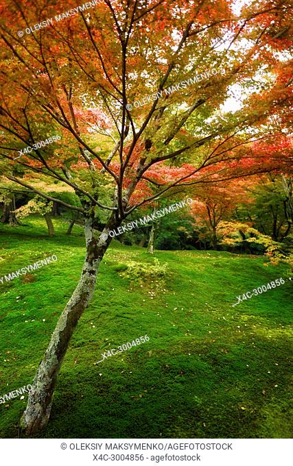 Colorful Japanese maple tree, Acer palmatum, in a beautiful mossy autumn nature scenery in a garden on Tofuku-ji temple grounds. Kyoto, Japan