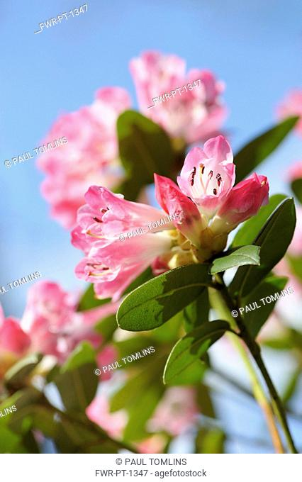 Rhododendron, Rhododendron 'Seta', Low side view of flowerheads with pink tinged white trumpets, against blue sky