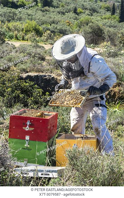 A beekeeper removing honey bees from the hive for inspection. Near Kardamyli in the Outer Mani, Peloponnese, Greece