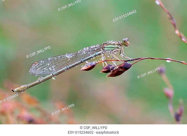 Platycnemis pennipes female