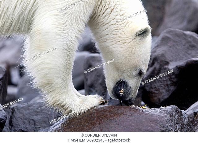 Norway, Svalbard, Spitsbergern, Polar Bear (Ursus maritimus) on the ground, eating pieces of a Brunnich's Guillemot (Uria lomvia)