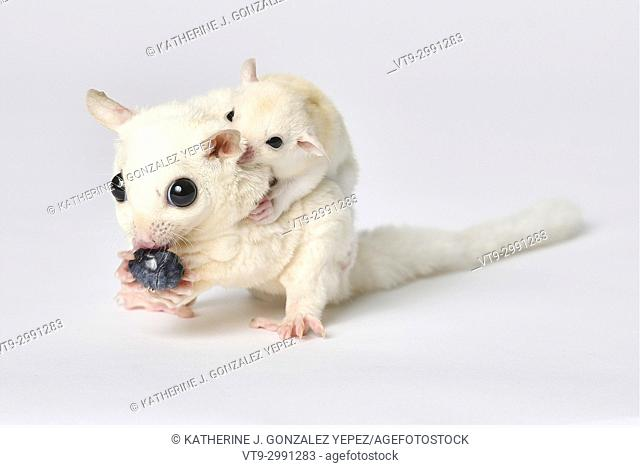 Stock Photo - Sugar Glider eating a blueberry with baby