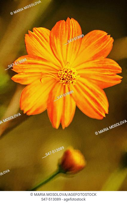Cosmos sulphureus, Wildflower. Maryland, USA