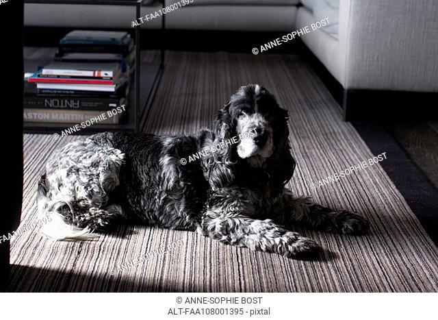 Dog lying on carpet in living room