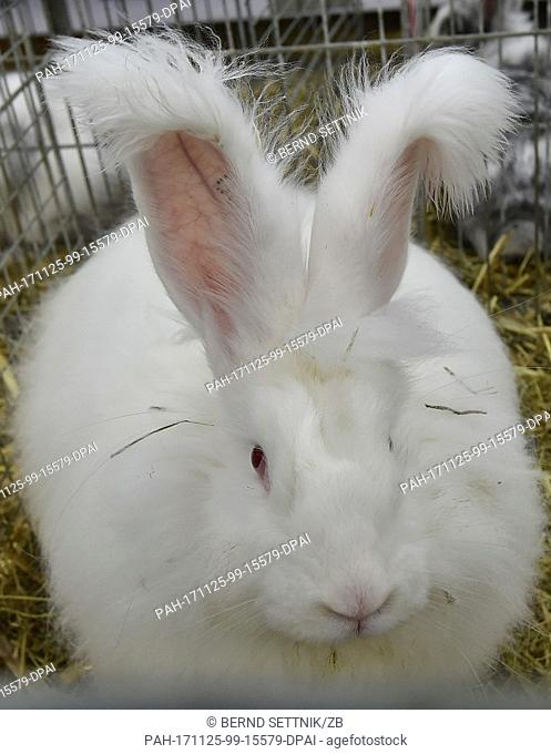 White Angora rabbits can be seen at the state association show of the rabbit breeders in Paaren/Glien, Germany, 25 November 2017