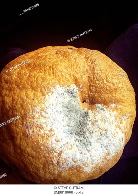 Old Grapefrut with Mould