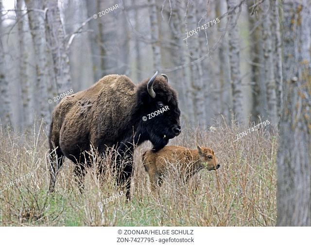 American Bison cow with very young calf
