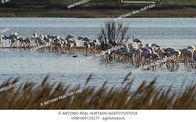 Flamingos.Natural Reserve Pétrola lagoon. Albacete province. Spain