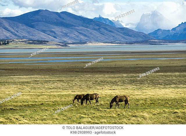 Horses in the Pampas near lago Roca, Patagonia, Argentina