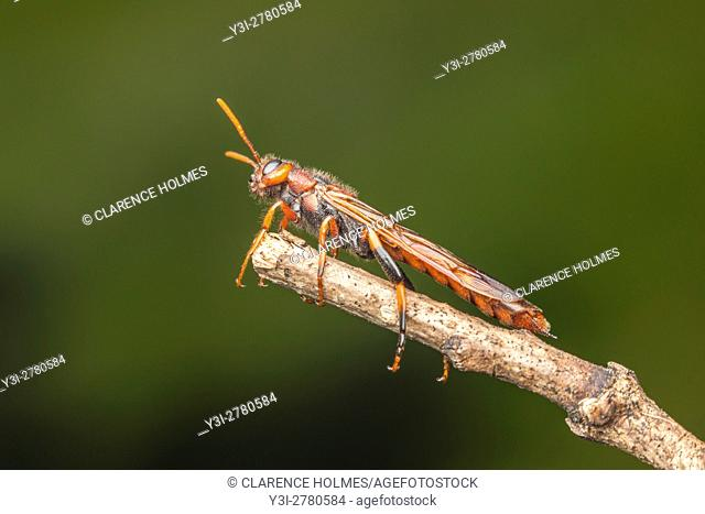 A male Pigeon Tremex (Tremex columba) clings to the end of a twig