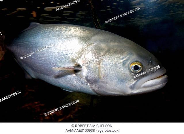 Bluefish (Pomatomus saltatrix) swimming in Coastal Massachusetts, Atlantic Ocean