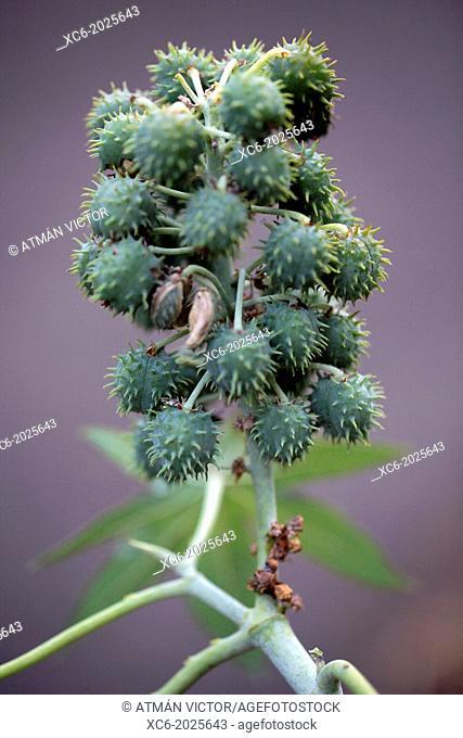 tártago . spurge plant . ricinus communis . north tenerife island. spain