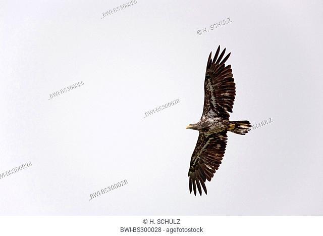 American bald eagle (Haliaeetus leucocephalus), juvenile flying, USA, Alaska