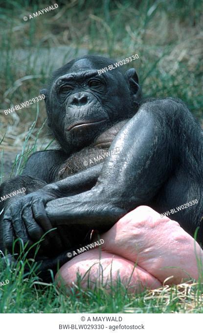 bonobo, pygmy chimpanzee Pan paniscus, female, with swollen genitals