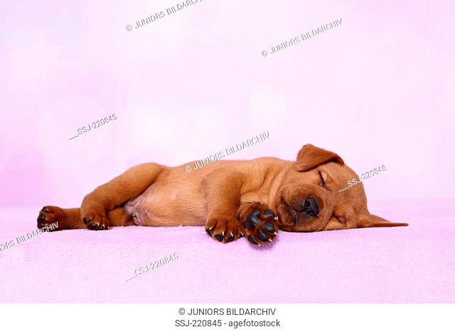 Labrador Retriever. Puppy (5 weeks old) söeeping on a pink blanket. Germany. Studio picture seen against a pink background