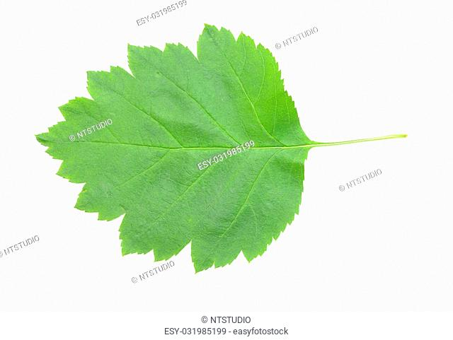 green leaf with shadow on white background