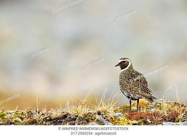 Golden plover (Pluvialis apricaria). Nordkinn Peninsula. Norway