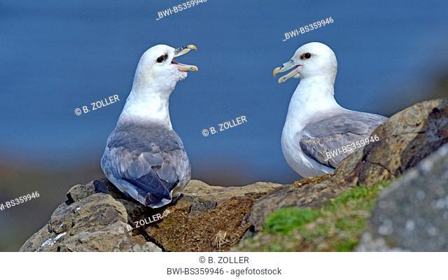 northern fulmar (Fulmarus glacialis), mating couple, Iceland