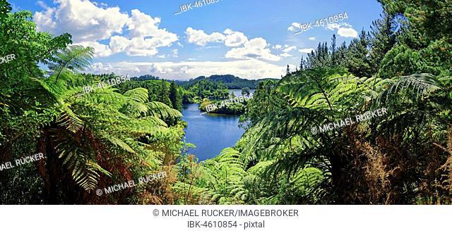 Silver Tree ferns (Cyathea dealbata) with lake Lake Mangamahoe in tropical rainforest, Whanganui National Park, North Island, New Zealand