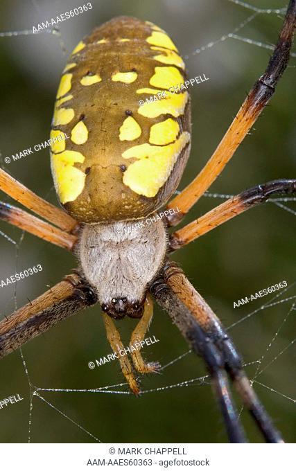 Adult female Golden Garden Spider (Argiope aurantia), Riverside, California, USA
