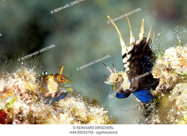 Elusive Signal Blennies in threatening posture, Emblemaria walkeri, La Paz, Baja California Sur, Mexico