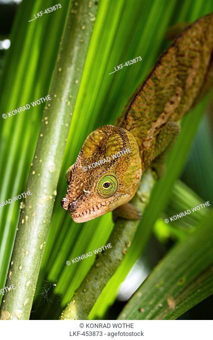 Parson's Chamaeleon, young male, Calumma parsonii, Perinet, Madagascar, Africa